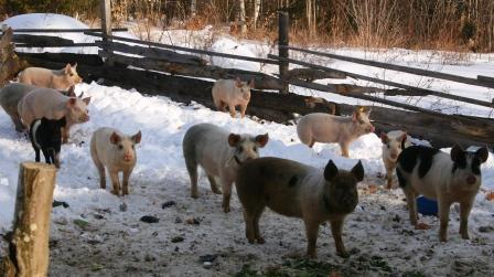 Pigs for sale at D Acres